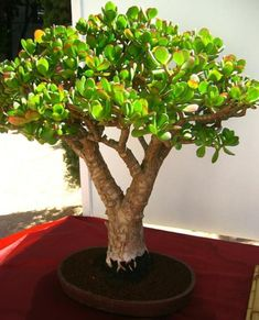 Outdoor Jade Bonsai: I'm in the process of growing one. Hope it gets nice and big like this one!