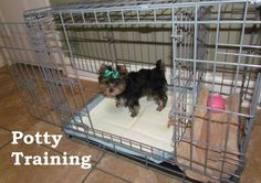 Yorkie Puppies. How To Potty Train A Yorkie Puppy. Yorkie House Training Tips. Housebreaking Yorkie Puppies Fast & Easy. Share this Pin with anyone needing to potty train a Yorkie Puppy. Click on this link to watch our FREE world-famous video at ModernPuppies.com