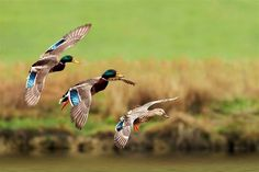 Three Mallards come in to the pond early on a Winter morning.
