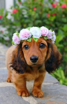 A Beautiful Dachshund Dog With Flowers - Cutest Baby Animals Super Cute Puppies, Baby Animals Super Cute, Cute Little Puppies, Cute Little Animals, Cute Dogs And Puppies, Cute Funny Animals, Baby Dogs, Doggies, Cutest Dogs