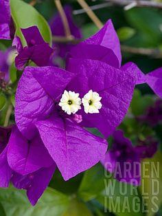Bougainvillea 'Purple Queen' with a cute little face