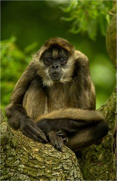 Geoffroy's Spider Monkey a. Black-Handed Spider Monkey, Ateles geoffroyi - Central America, Panama, Columbia, Ecuador and parts of Mexico Primates, Mammals, Monkey See Monkey Do, Ape Monkey, Beautiful Creatures, Animals Beautiful, Cute Animals, Baboon, Mundo Animal