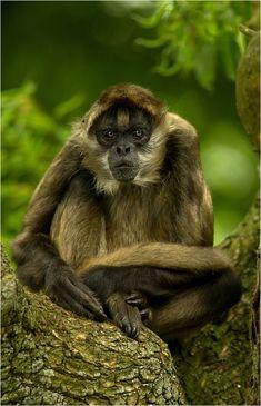 """Just sitting around""  Black-handed spider monkey at zoo Karlsruhe."