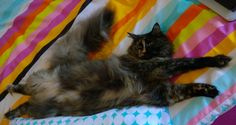Miss Tequila aka Tiki my black smoke tortie Maine Coon getting her 'beauty sleep' :-) Owner Lesley White.
