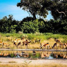 Beautiful and graceful #impalas in the Okavango Delta of Botswana 🦌Impala is the most abundant #antelope in the woodlands of Botswana with population estimated at almost 2 million 🌍🌳#okavangodelta #botswana #safari @sanctuaryretreats .  .  .   #nature #impala #animals #travel #wanderlust #traveler #travelgram #instago #instafollow #fff #tree #beautiful #luxurytravel #lifestyle #picoftheday #beautifuldestinations #passionpassport #getaway #trip #likeforlike #afri