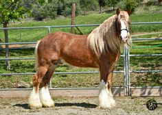 2011 Varnish Chestnut  Grandson of Eddie Alcocks The Old Black Horse With lines to: Lenny's Horse, The Lob Eared Horse, Henry Connors White Horse DNA: ee, Aa, PTRN-1 (The PTRN-1 gene when...