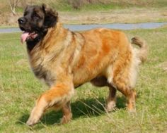 Leonberger #Dogs