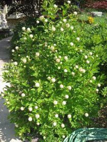 SC native plant Cephalanthus occidentalis Button bush.