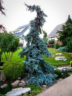 The Weeping Blue Spruce is a spectacular and unique specimen tree that is also tough and very cold hardy. This evergreen tree has brilliant silver-blue needles Conifer Trees, Trees And Shrubs, Trees To Plant, Evergreen Landscape, Evergreen Garden, Weeping Evergreen Trees, Evergreen Trees Landscaping, Privacy Landscaping, Front Yard Landscaping