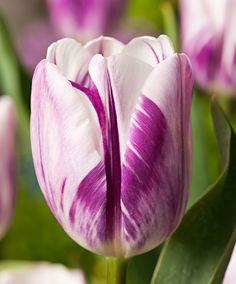 Tulip 'Flaming Flag' | Flower Bulbs from Spalding Bulb