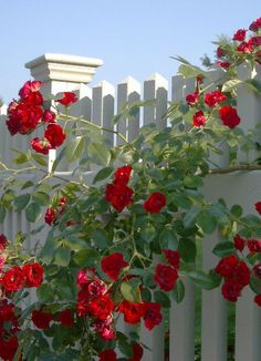 Just Something About Red Roses & White Picket Fence, Beautiful! Beautiful Roses, Beautiful Gardens, Beautiful Flowers, White Picket Fence, White Fence, Picket Fences, Red Cottage, Climbing Roses, My Secret Garden