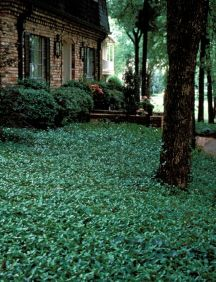 Asian Jasmine.  This is the look I'm going for on the shady side of the yard…