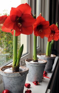 How To Force Bulbs for Gorgeous Indoor Bloom and Color - Traditional Home®. I miss growing Amaryllis at Christmas time! Maybe next year. Garden Bulbs, Home Garden Plants, Planting Bulbs, House Plants, Planting Flowers, Flowers Garden, Indoor Flowers, Bulb Flowers, Indoor Plants