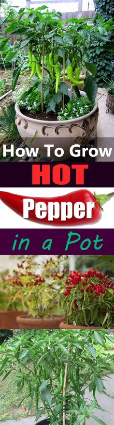 Growing hot peppers in containers is so easy and productive. Here's everything you need to know!
