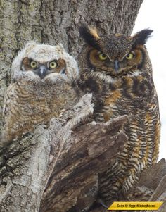 DEVIOUSLY FABULOUS IMAGES OF OWL CAMOUFLAGE