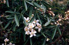 RHS Plant Selector Choisya × dewitteana 'Aztec Pearl' AGM / RHS Gardening  http://apps.rhs.org.uk/plantselector/plant?plantid=425