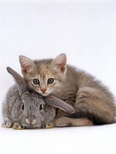Jane Burton - Domestic Cat, Silver Tortoiseshell Kitten with Silver Dwarf Lop Eared Rabbit