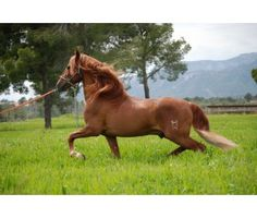 Caballo Andaluz For Sale
