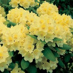 The sunniest yellow Rhododendron ever grown, Capistrano is a colorful joy for the late spring garden! Dense, compact, and spreading up to 6 feet wide, it's the ideal size for foundation plantings, hedges, and the back of the border!