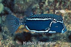 ostracion whitleyi (whitley's boxfish), male, by keoki stender