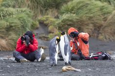 Get your cameras out and be ready for some unusual photogenic models: King Penguins!