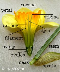 Learning about daffodils - printable daffodil poem - art project - parts of a daffodil diagram - nature science project