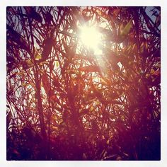 Bamboo sun Dandelion, Bamboo, Sun, Flowers, Plants, Dandelions, Plant, Taraxacum Officinale, Royal Icing Flowers