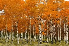 Google Image Result for http://willsononline.com/fall07/Yellowstone/aspens.jpg