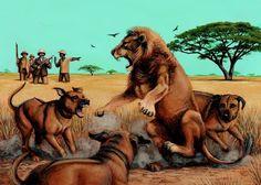 Rhodesian Ridgebacks komen oorspronkelijk uit Afrika. Daar vochten ze ook met Leeuwen!