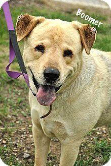 Kansas City, MO - Anatolian Shepherd/Labrador Retriever Mix. Meet Boomer (Courtesy Listing), a dog for adoption. http://www.adoptapet.com/pet/16352538-kansas-city-missouri-anatolian-shepherd-mix