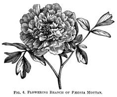 Moutan Paeonia, peony clip art, botanical engraving, black and white clip art, vintage flower graphics