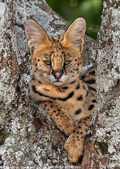 Africa | Serval cat that had run up a tree to get away from some lions.  Serengeti, Tanzania | ©Charlie Summers