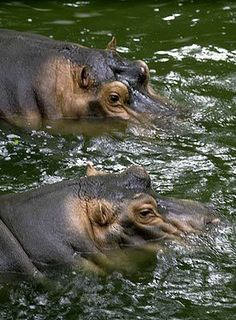 Animal Diversity Web http://animaldiversity.ummz.umich.edu/  (shown: Hippopotamus amphibius)