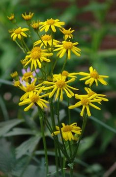 Packera aurea golden groundsel from North Creek Nurseries Shade Perennials, Shade Plants, Cut Flowers, Wild Flowers, North Creek, Sun Loving Plants, Sandy Soil, Yellow Daisies, Woodland Garden