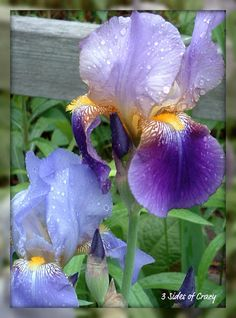 10. Iris..THESE ARE MY FAVORITE...I HAVE 100'S OF THEN. LOVE WHEN THEY ARE ALL IN BLOOM!!!