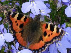 Schmetterling nascht
