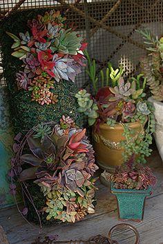Succulents varieties