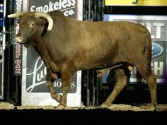 Little Yellow Jacket Only sport I know where the bull gets judged too!