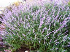 Salvia Leucantha, Mexican Bush Sage | Austin Native Landscaping