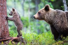 """Photo: Cuteness! :-)  Bear cub learns to climb  """"Eager to show off their new skills, the cute cubs tentatively made their way up the tree in a secluded forest in northern Finland.  Their mum kept a close watch and gave them an encouraging nudge after they stopped just a few feet off the forest's floor...""""  See more cute pics: http://dailym.ai/29FRJeO  #Finland #Bears #Wilderness #Wildlife #Photography"""