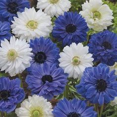 Blue & White Double Daisy Anemone Mixture - 10 per package Summer Flowering Bulbs, Summer Bulbs, Spring Bulbs, Spring Blooms, Perennial Bulbs, Sun Perennials, Drawing Lessons, Pretty Flowers, Blue Flowers