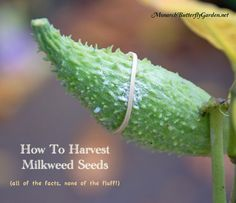 How To Harvest Milkweed Seeds: All of the Facts, None of the Fluff! Save our Monarchs!