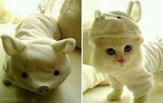 kittyPig