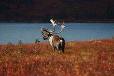 Alaska - weltreisewelt Indian Summer, Alaska, Fjord, Animals, National Forest, Animales, Animaux, Animal, Animais