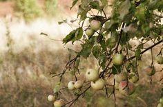 autumn, apple tree