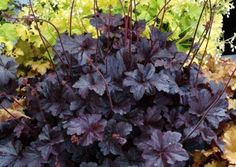 """Heuchera 'Obsidian':  Does not fade, even in full sun.  Its richly coloured foliage showcases all other colours in the garden.  Full sun to part shade; moderately well drained, organic soil;  drought tolerant; winter colour; insignificant white flowers May - June;  10""""H x 16""""W;  Zones: 4 to 9. - Terra Nova Nurseries"""