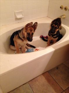 German Shepard puppies in the tub! How precious!