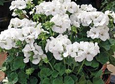 15 Geranium Film Coated MultiBloom White Multi Bloom Geranium Seeds