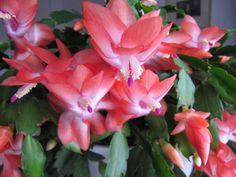 karácsonyi kaktusz4 Sweet Home, Garden, Amy, Relax, Album, Google, Plants, Garten, House Beautiful