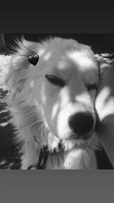 Emoji Pictures, Cute Pictures, Cute Puppies, Cute Dogs, Maremma Sheepdog, Dog Snapchats, Cute Sweatpants, Cute Husky, Dog Poses